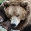 Чому ведмеді сплять взимку?
