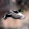 Чому птахи літають?