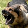 Чому собаки гавкають?