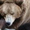Чому взимку ведмідь спить?