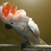Папуги какаду: відгуки, фото. Скільки живуть какаду?