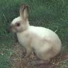 Породи кролів - найпопулярніші