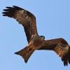 Птах чорний шуліка: опис пернатого
