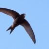 Птах стриж: опис, спосіб життя