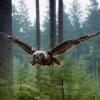 Рід совоподібних. Чим відрізняється сова від пугача і пугача?