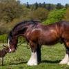 Найбільша кінь у світі: цікаві факти