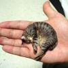 Найменша кішка в світі - хто ж вона?