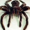 Найбільший павук у світі