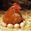 Скільки курка несе яєць?
