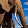 Скільки важить слон?