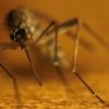 Скільки живе комар в природі і в приміщенні?
