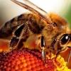 Скільки живе бджола? Чи можливо уберегти її від загибелі?
