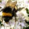 Скільки живуть бджоли?