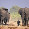 Скільки живуть слони?
