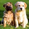 Скільки живуть собаки?