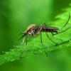 Дивовижний світ комах: як і тривалість життя комара?