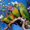У вашому будинку з`явилися хвилясті папуги. Як визначити стать свого вихованця?