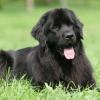 Водолаз - собака розумна і віддана