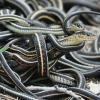 Зміїні весілля, або як змії спаровуються і розмножуються